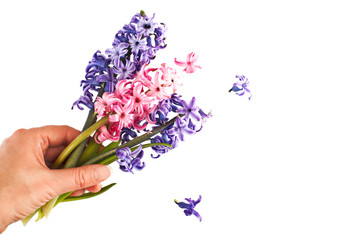 Hyacinths. Spring flowers isolared on white background