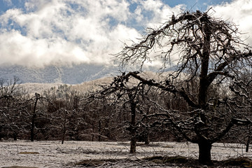 A light snow covers the apple tree skeletons of an apple orchard.