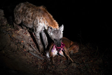 Hyäne beim Fressen