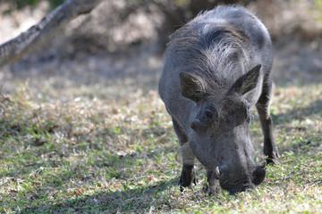 Warzenschwein, Warthog