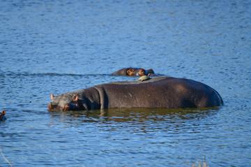 Hippo mit Schildkröte