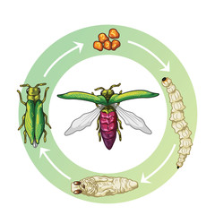Emerald Ash Borer Life Stages (egg, larvae, pupae and adult)