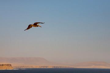 Peruvian Pelican flying