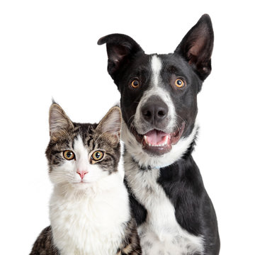 Happy Border Collie Dog and Tabby Cat Together Closeup