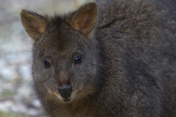 Direct face front portrait view of wild pademelon