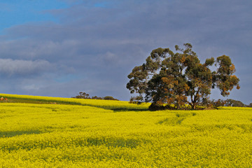 Big bloom of canola field accented by tree