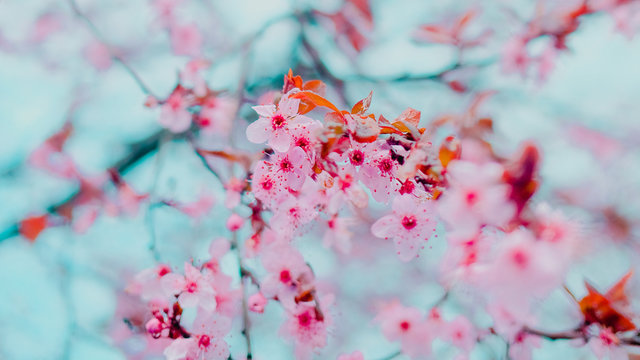 Spring blossom tenderness. Bright flowers of cherry plum tree on background of blue sky. Cyan pink color contrast
