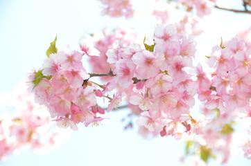 河津桜咲くお寺