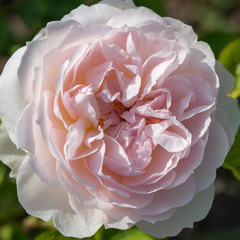 Blooming rose in the garden on a sunny day. Rose Gentle Hermione.