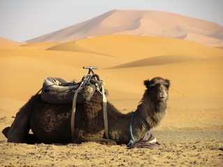 Camels resting in the sun waiting to move for Sahara Desert. Camels are extrtaordinary strong and resistant animals perfect for long trips across Sand Dunes