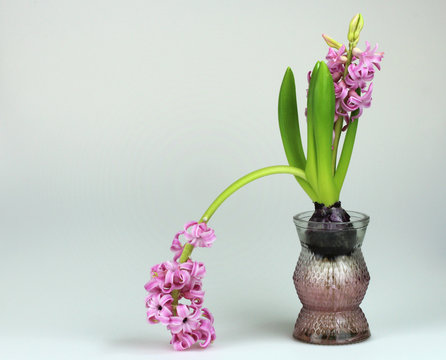 pink flower droops left from bulb in glass vase as impotence failure or shame metaphor with copy space