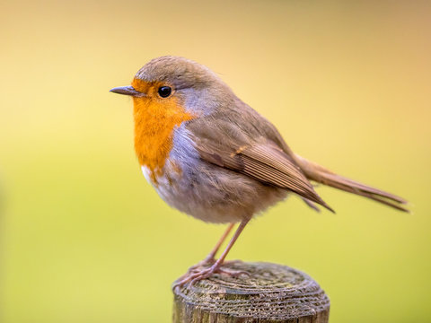 Cute Red Robin with bright background