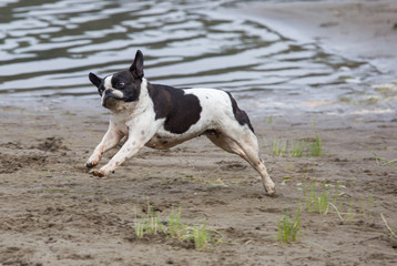 French bull mix boston terrier dog