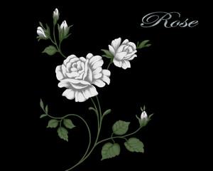 Illustration of blooming rose on a black background.
