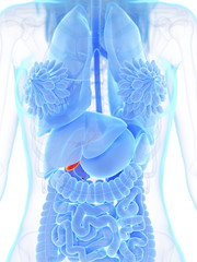 3d rendered medically accurate illustration of a womans gallbladders