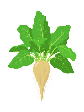 Sugar beet plant with roots, vector illustration isolated on white background. Mature sugar beet root, fruit with green foliage.
