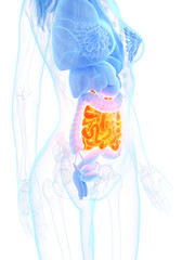 3d rendered medically accurate illustration of a womans small intestine