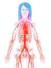3d rendered medically accurate illustration of the female heart and vascular system
