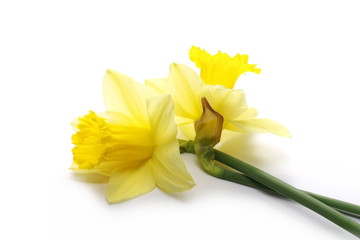 Photo sur Plexiglas Narcisse Blooming narcissus flowers isolated on white background