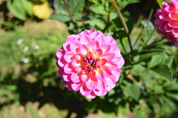 common zinnia elegans garden spring flower