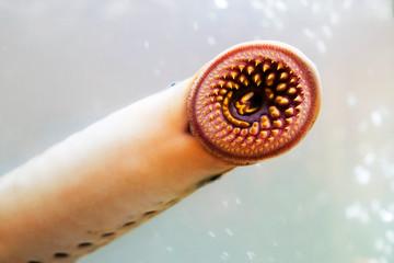 lamprey  delicious fish  parasite in aquarium
