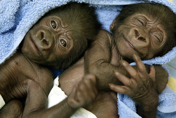 Baby gorilla twins are wrapped in a towel at the nursery of Barcelona's Zoo.