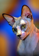 SPHYNX CAT SITS DURING EXHIBITION IN KUALA LUMPUR.