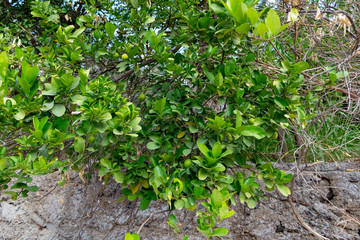 Green unripe tangerines on a tree outside a stone wall in a southern country