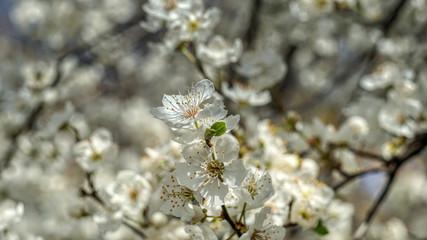 Flowering tree in the spring
