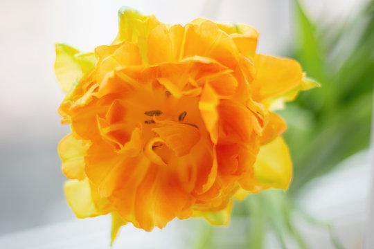 Yellow velvet tulip
