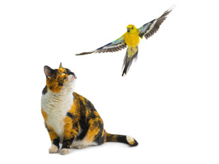 orange black white cat looking at a parrot