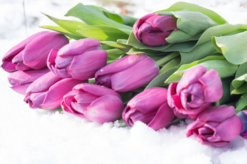 Tulips on the snow in early spring