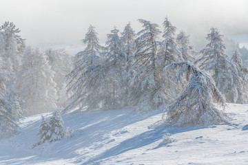 Gleize Pass, Champsaur, Hautes-Alpes, Alps, France: Wind blowing snow on the slopes and trees of Col de Gleize after a snowfall