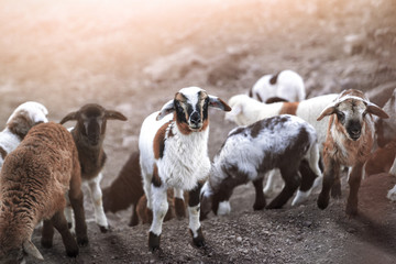 a group of young goats outdoors standing and watching