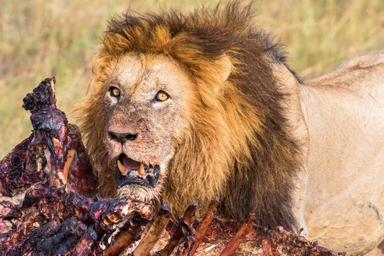 Animal kill and a Male Lion in africa