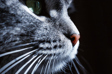 Close up view of beautiful cat's green eye and nose. Gray cat on dark background. Beautiful textured fur. Macro. Pets concept. Animal portrait. Wall mural