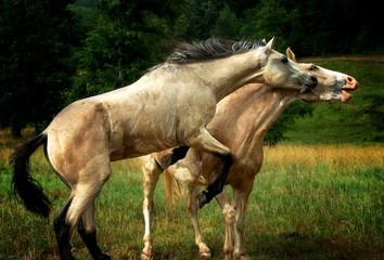 Horses Horse Stallion Playing Fighting Running Jumping Bucking in Pasture on Ranch Farm