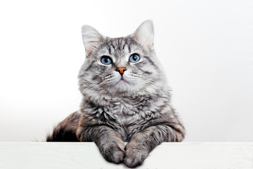 Fotorolgordijn Kat Funny large longhair gray tabby cute kitten with beautiful blue eyes. Pets and lifestyle concept. Lovely fluffy cat on white background.
