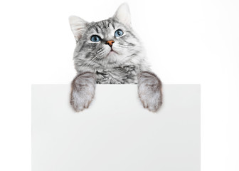 Funny gray tabby kitten showing placard with space for text. Lovely fluffy surprised cat holding signboard on isolated background. Top of head of cat with paws up, peeking over a blank white banner.