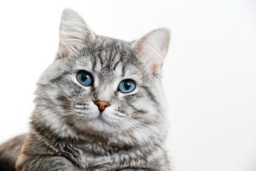 Funny large longhair gray tabby cute kitten with beautiful blue eyes. Pets and lifestyle concept. Lovely fluffy cat on grey background. Wall mural