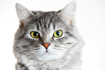 Funny large longhair gray tabby cute kitten with beautiful yellow eyes. Pets and lifestyle concept. Lovely fluffy cat on grey background.