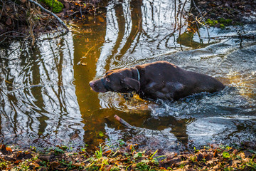 Hunting dog in a forest puddle in the fall