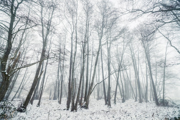 Misty winter in a forest with barenaked trees