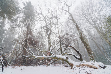 Fallen tree in a misty forest in the winter