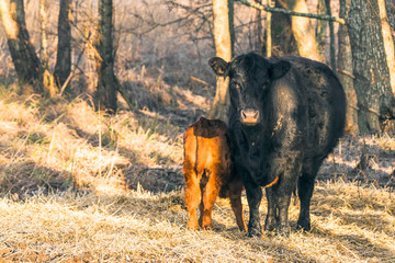 Calf with the mother cow near a forest