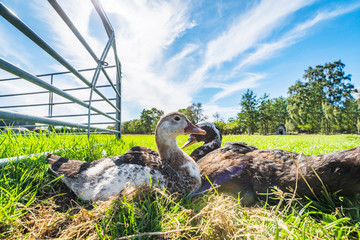 Ducks relaxing in the sun on green grass in the summer