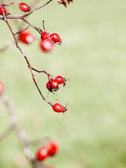 red rose hip