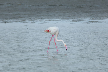 Pink flamingo in the Camargue. A Greater flamingo in the lagoon of the Camargue, Provence, Bouches-du-Rhône, France