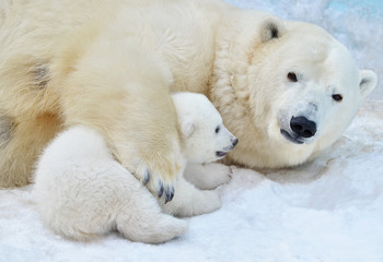 Poster Ijsbeer polar bear with a bear cub in the snow