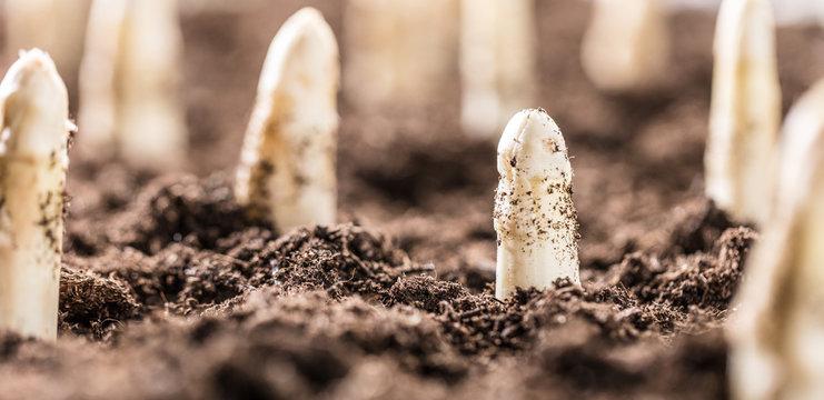Weisser spargel wächst aus der erde